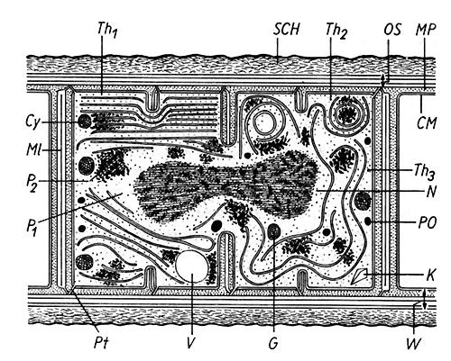 Schematisierter Schnitt durch eine Blaualgenzelle