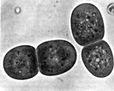 Synechococcus maximus