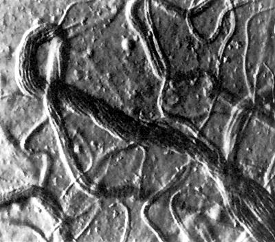 Schizothrix lardacea in Microcoleus-Wuchsform